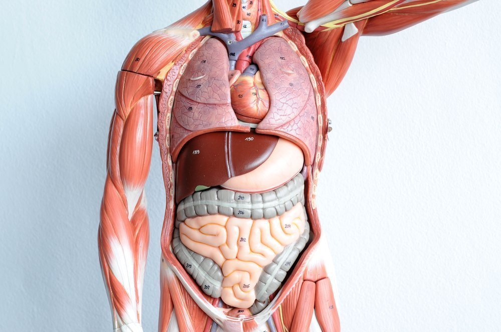 Анатомические органы человека картинки